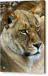 Proud Lioness Acrylic Print