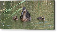Proud Mom Duck Acrylic Print by Valia Bradshaw