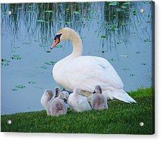Proud Mother Swan Acrylic Print by Jeanette Oberholtzer