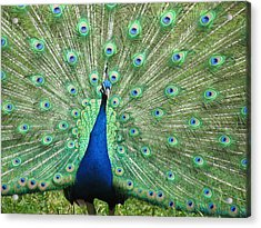 Acrylic Print featuring the photograph Proud Peacock by Bonnie Muir