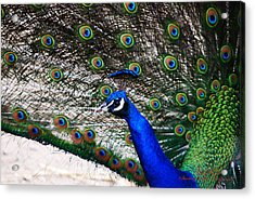 Proud Peacock Acrylic Print by Sheryl Cox