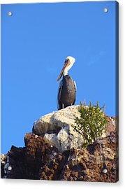 Proud Pelican Acrylic Print by Ramie Liddle