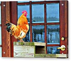 Proud Rooster Acrylic Print
