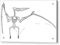 Pteranodon Longiceps Acrylic Print by Science Source