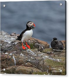 Puffin With Sand Eels Acrylic Print by Louise Heusinkveld