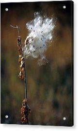 Puffy Milkweed Fluff Acrylic Print by John Brink