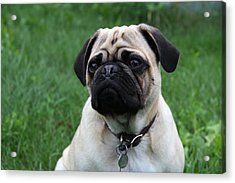 Pug Pup Acrylic Print by Kim French