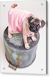 Pug Puppy Pink Sun Dress Acrylic Print by Edward Fielding