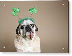 Pug With Tongue Acrylic Print