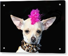 Punk Rock Chihuahua Acrylic Print by Ritmo Boxer Designs