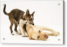 Pup Biting Lab On The Ear Acrylic Print by Mark Taylor