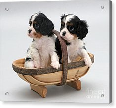 Puppies In A Trug Acrylic Print by Jane Burton