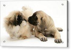 Puppies Acrylic Print by Jane Burton
