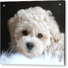 Puppy Dog Eyes Acrylic Print