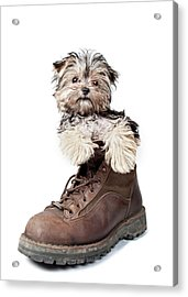 Puppy In A Boot Acrylic Print by Chad Latta
