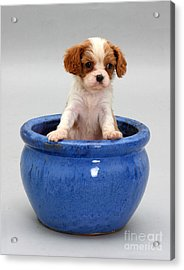 Puppy In A Pot Acrylic Print by Jane Burton