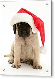 Puppy In A Santa Hat Acrylic Print by Jane Burton