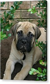 Acrylic Print featuring the photograph Puppy by Kelly Hazel