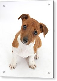 Puppy Looking Up Acrylic Print by Mark Taylor