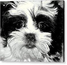 Puppy Love Acrylic Print by Antonia Citrino