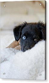 Puppy Lying On Soft Blanket Acrylic Print by Angela Auclair