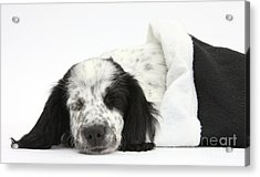 Puppy Sleeping In Christmas Hat Acrylic Print by Mark Taylor