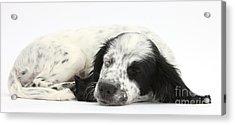 Puppy Sleeping Acrylic Print by Mark Taylor