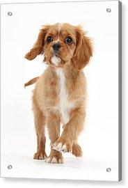 Puppy Trotting Foward Acrylic Print by Mark Taylor