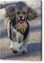 Puppy Walk Acrylic Print
