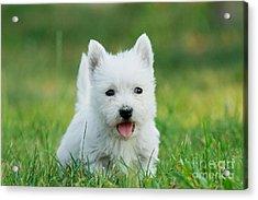 Puppy West Highland White Terrier Acrylic Print by Waldek Dabrowski