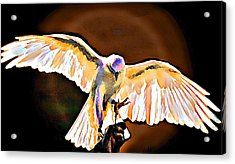Pure Whtie Raptor Acrylic Print by Carrie OBrien Sibley