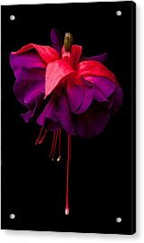 Purple And Pink Beauty Acrylic Print by Dawn OConnor