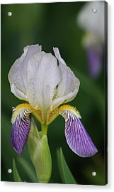 Purple And White Iris 1 Acrylic Print by George Miller