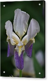 Purple And White Iris 2 Acrylic Print by George Miller