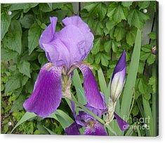 Purple Bearded Iris Acrylic Print by Jane Whyte