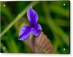 Purple Bromeliad Flower Acrylic Print by Douglas Barnard