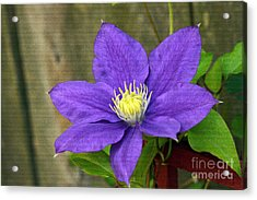 Acrylic Print featuring the photograph Purple Clematis by Denise Pohl