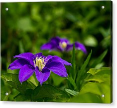 Purple Clematis Flower Acrylic Print