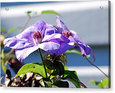 Acrylic Print featuring the photograph Purple Clematis by Linda Cox