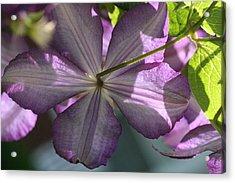 Purple Clematis Rear Acrylic Print