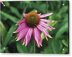 Purple Coneflower Acrylic Print by Duncan Smith