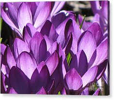 Acrylic Print featuring the photograph Purple Crocus by Michele Penner