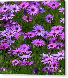 Purple Daisies Square Acrylic Print by Carol Groenen