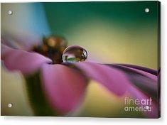Purple Daisy Droplet Acrylic Print by Kym Clarke