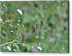 Acrylic Print featuring the photograph Purple Dragon Fly by Jodi Terracina