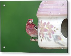 Purple Finch At Feeder Acrylic Print