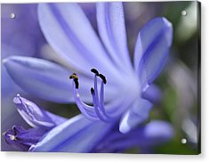 Purple Flower Close-up Acrylic Print by Sami Sarkis
