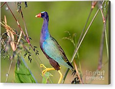 Acrylic Print featuring the photograph Purple Gallinule by Jennifer Zelik