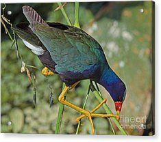 Acrylic Print featuring the photograph Purple Gallinule by Larry Nieland