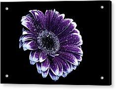 Purple Gerbera  Acrylic Print by Fiona Messenger